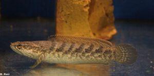 """Schlangenkopffische @ Vereinslokal """"Zum Kegel"""""""